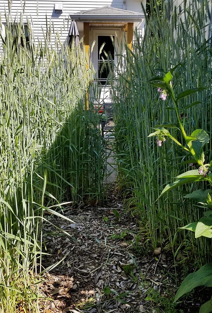 Rye Grass Cover Crop