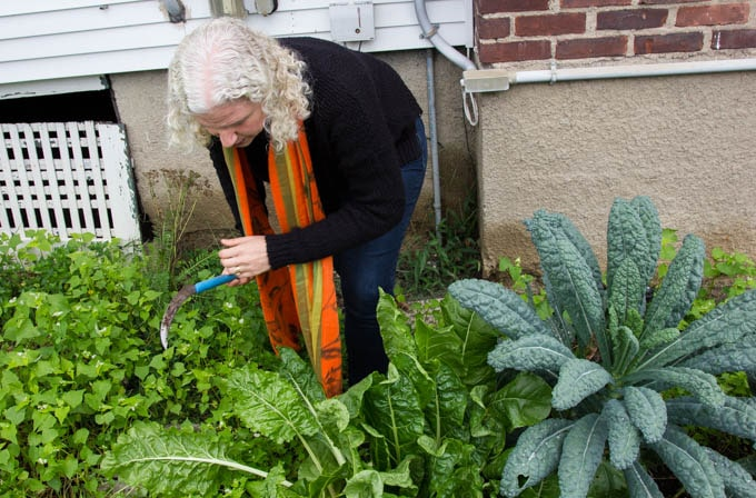 picking Swiss chard in the garden