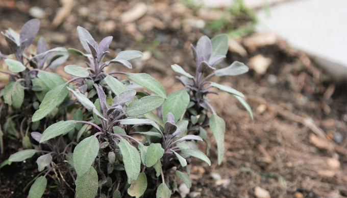 Fresh sage in the garden