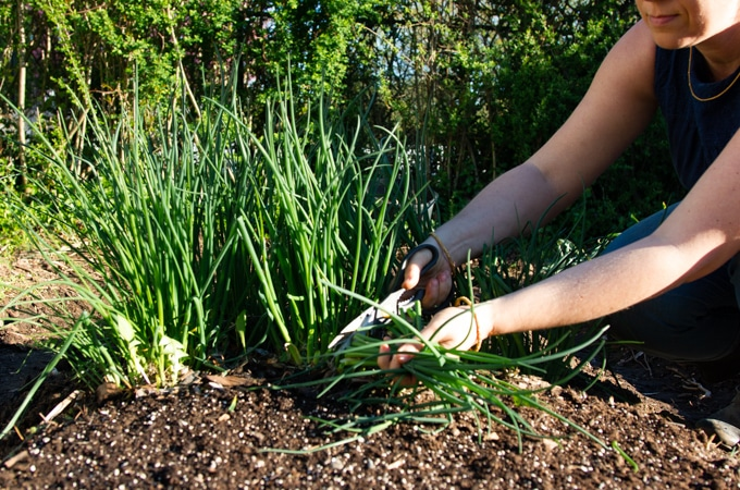 cutting chives in the garden