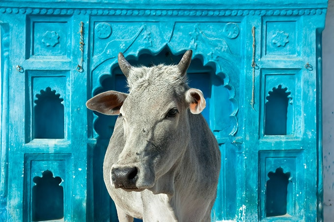 Indian holy cows