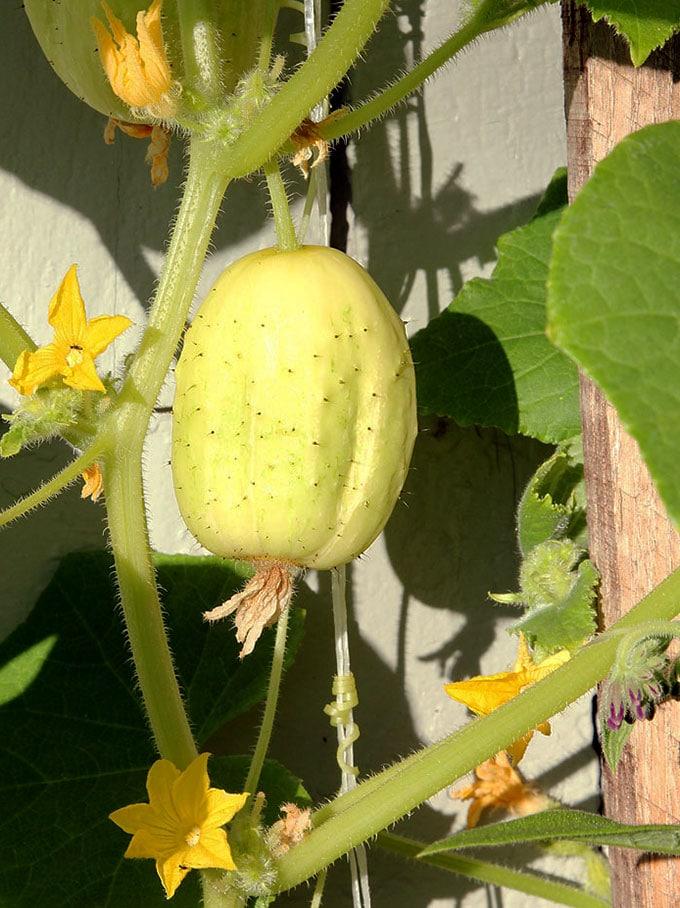 lemon cucumber on a spiny vine