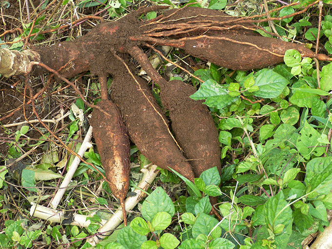 cassava root in the forest