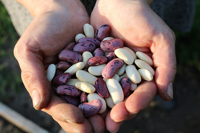 Beans grown on the farm